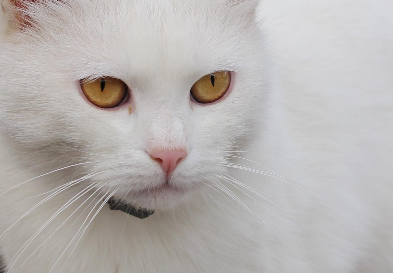Chat blanc (Croatie)